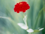 lif_20050509_redflower1.jpg