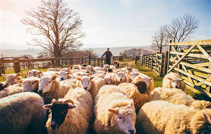 牧人與羊群。(圖:網絡圖片)