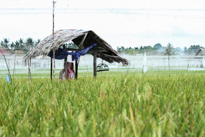 印尼農民在水稻植場。(圖:網絡圖片)