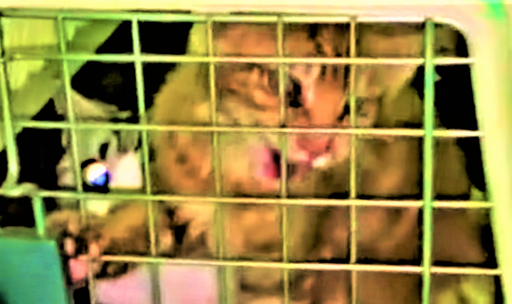 走私未檢疫的名種貓。(圖:視頻擷圖)